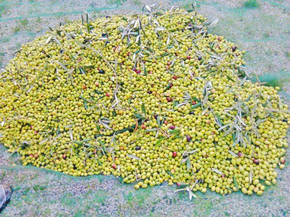 Il raccolto delle nostre squisite olive B&B Aulìv